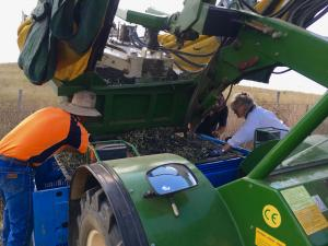 Offloading olives into bins